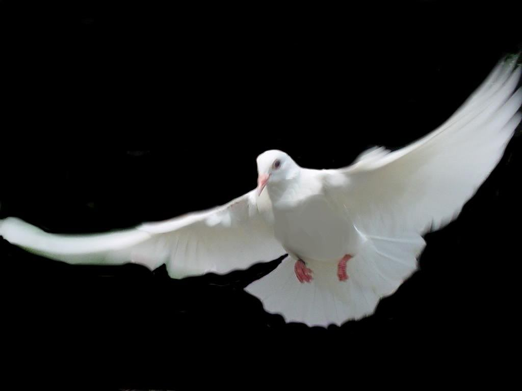 Cool Animals Pictures: White Dove Background Wallpapers