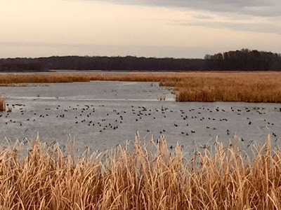 a November marsh full of coots