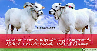 Most trending Ongole bull image in social networks
