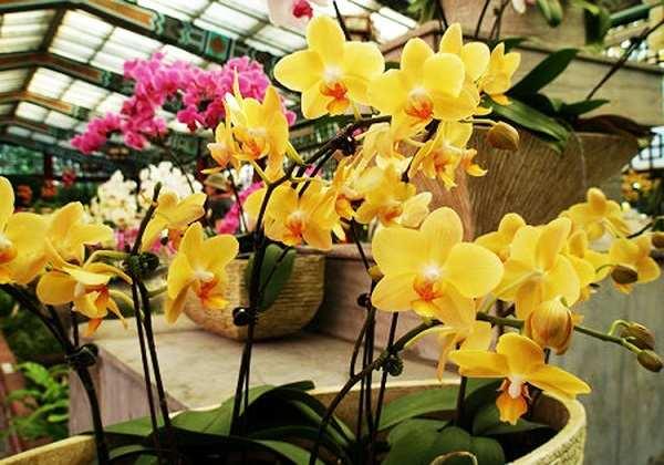 hoa lan hồ điệp vàng