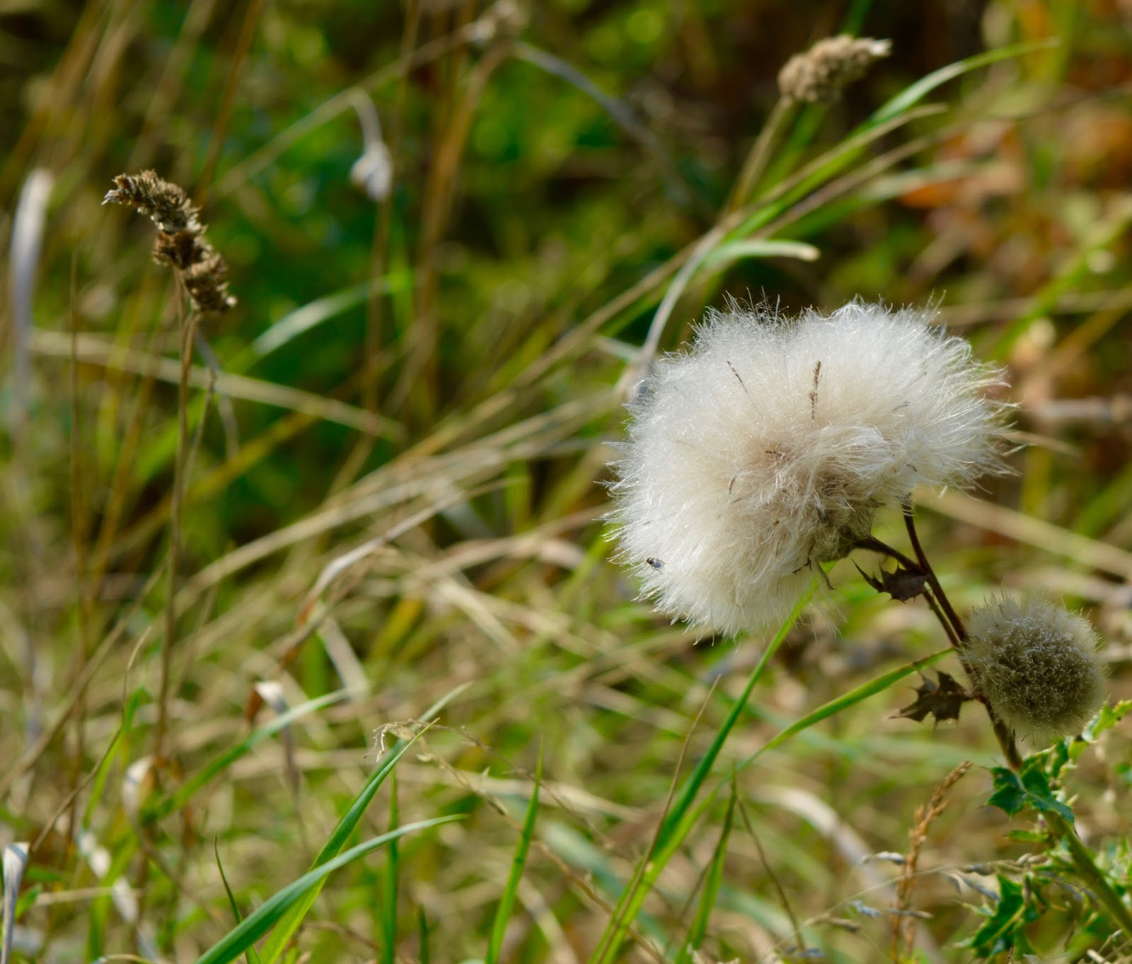 A walk around Ladyburn Lake at Druridge Bay Country Park | Northumberland - weeds