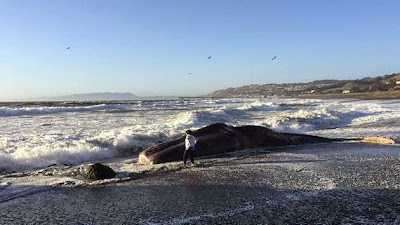 surface currents wash both live and dead whales ashore
