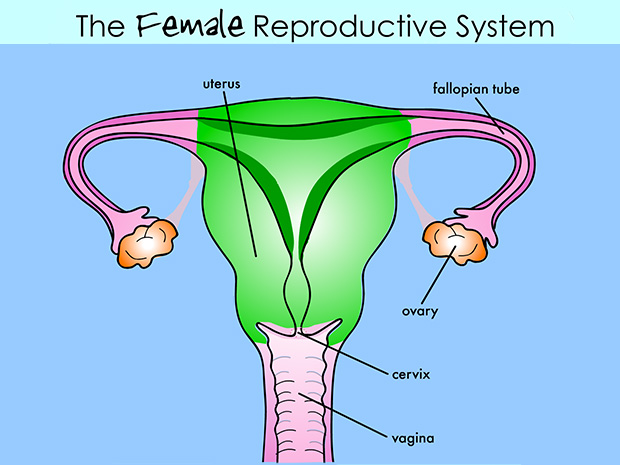 When Does An Embryo Become Male Or Female