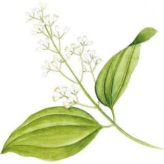 Canela, nome científico: Cinnamomum verum