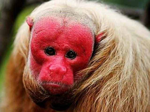 A face, as orelhas e a genitália são desprovidas de pelos, sendo a face e as orelhas pouco pigmentadas, mosqueadas ou despigmentadas e a genitália enegrecida.