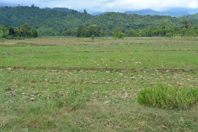 Ribuan Hektar Sawah di Abdya Kekeringan