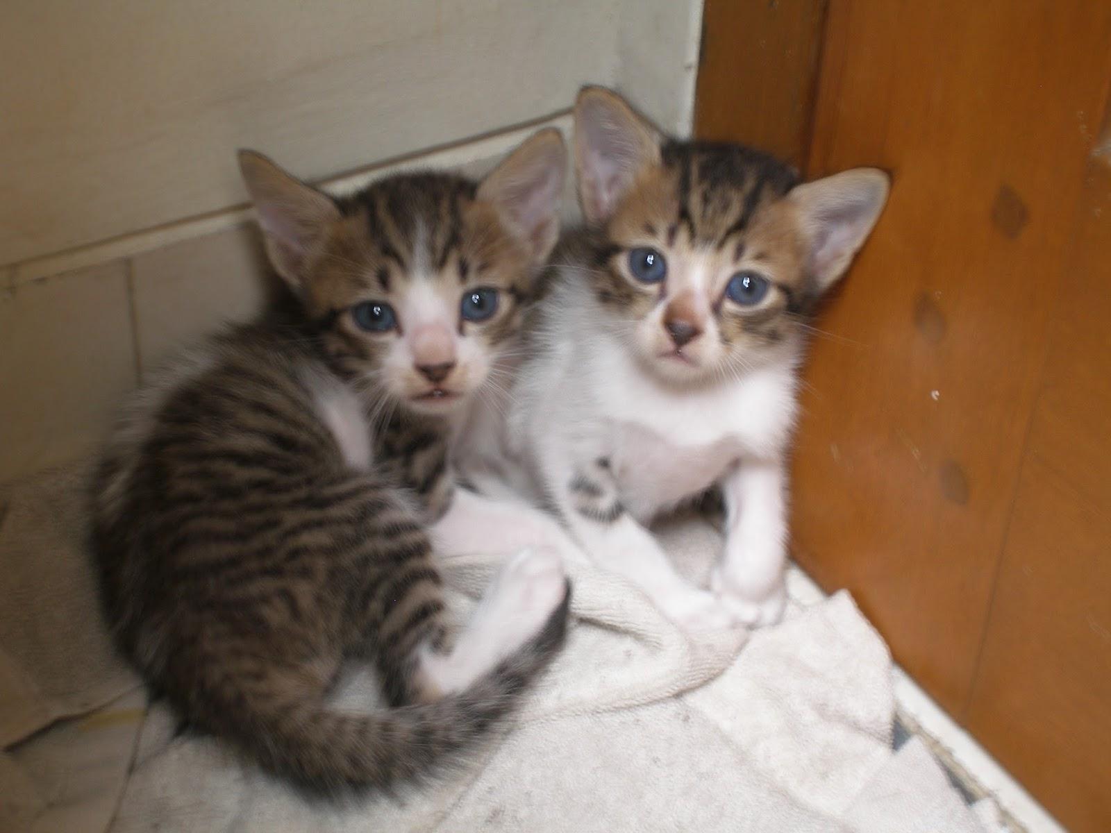 Unduh 61+  Gambar Kucing Persia Campuran Kampung Terbaik HD
