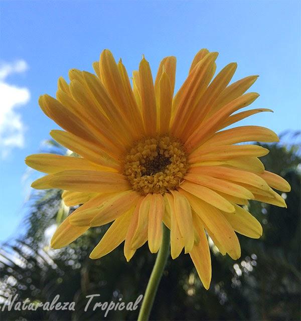 Variedad amarilla de la flor Margarita Japonesa, Familia Asteraceae