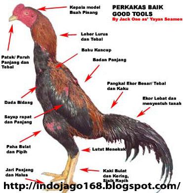 Menghasilkan Ayam Petarung Yang Tangguh