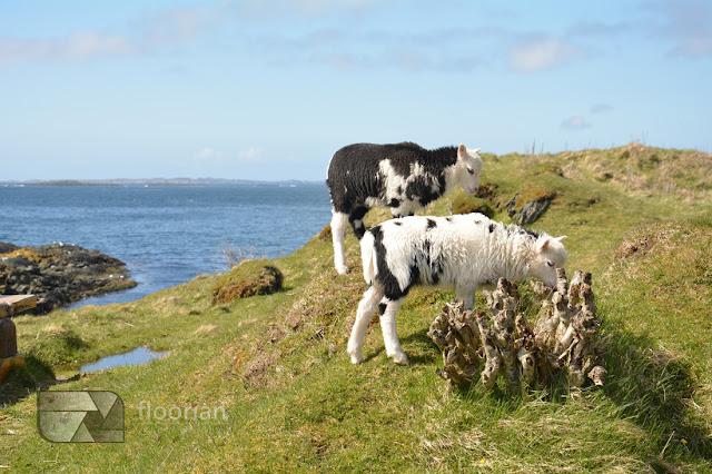 Owce na skałach w Haugesund - top atrakcje turystyczne Haugesund