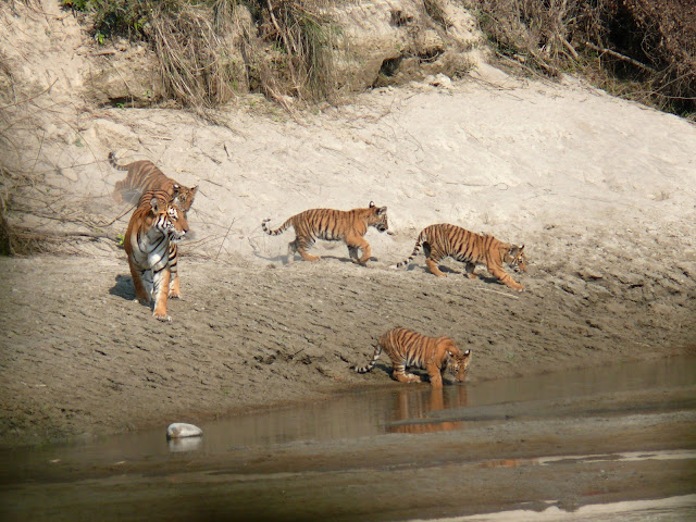 Tigers in Bardia National Park