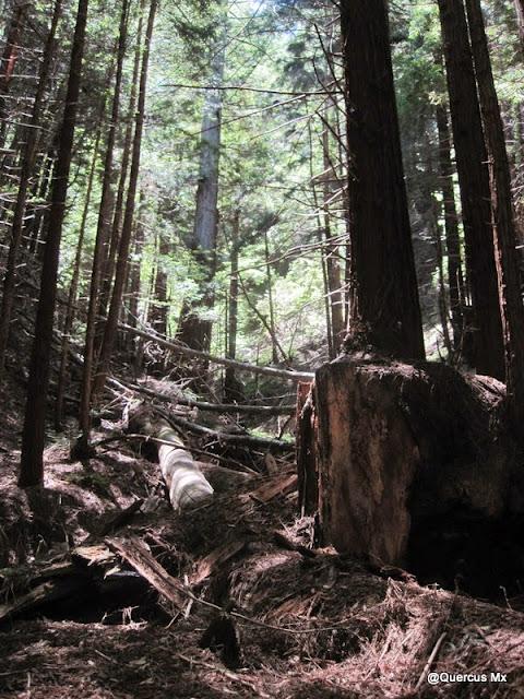 Árboles enormes en Chalk Mountain