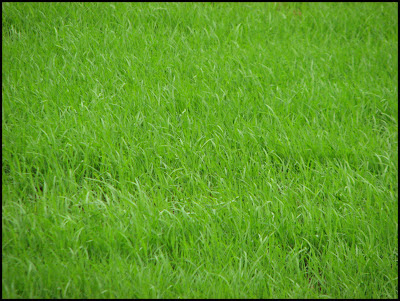 Paddy fields