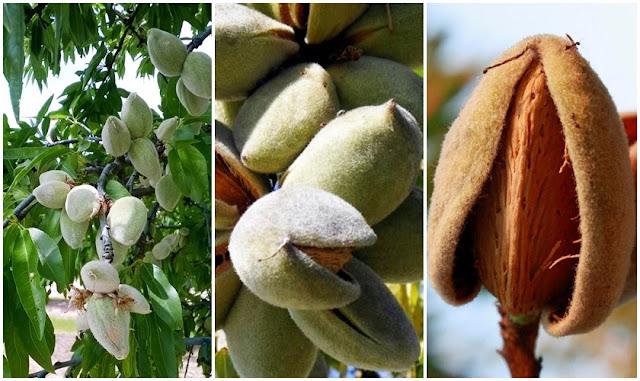 Cultivo, sementeira e plantação da Amendoeira