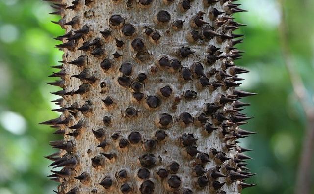 Espinas en el tronco del Jabillo Hura crepitans