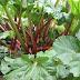 Ραβέντι, βότανο για την χολή, το συκώτι, το έντερο, τονωτικό, ισχυρό αντικαρκινικό