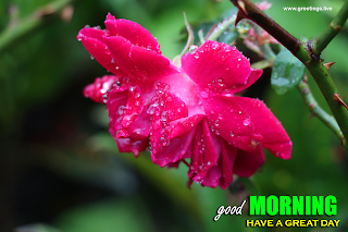 morning wishes messages with water drops   on flowers