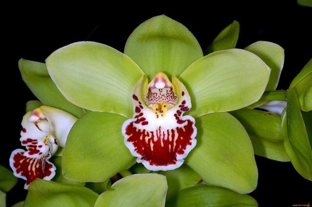 hoa phong lan đắt nhất thế giới