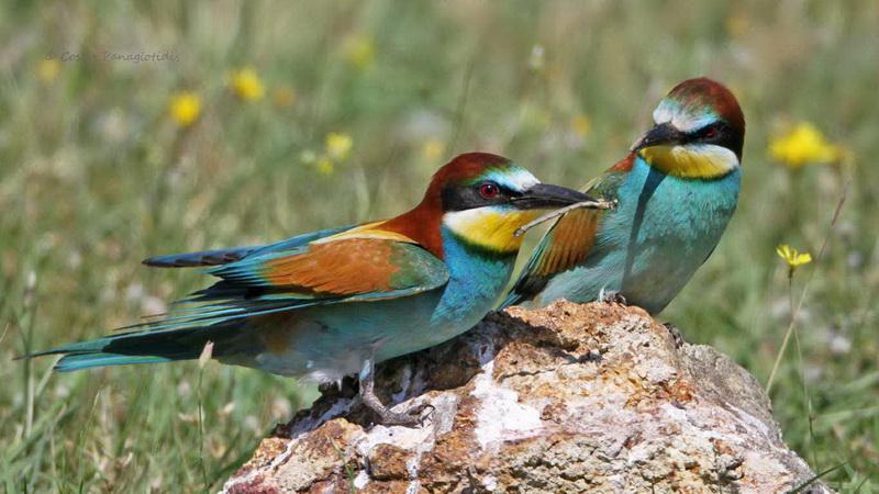 Ο Μέροπας στο Δέλτα του Έβρου, ένα παρεξηγημένο πουλί
