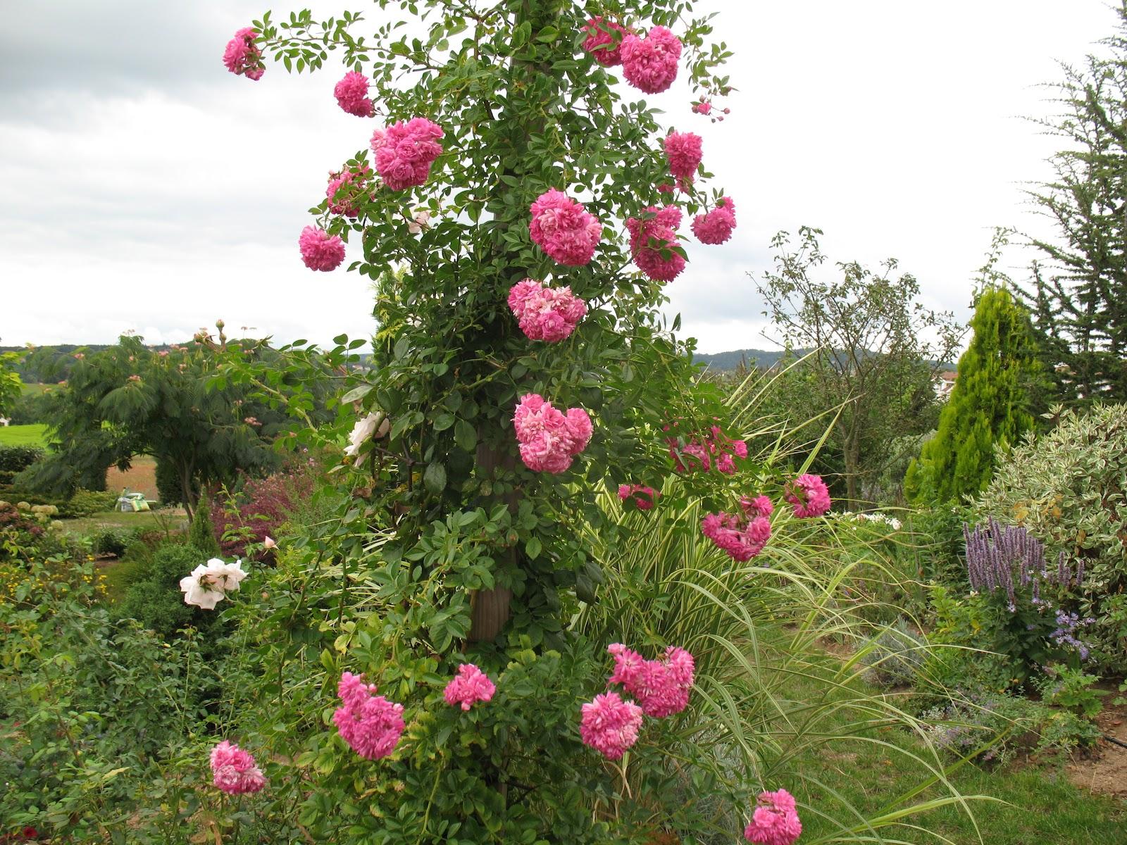 "roses du jardin chêneland: rosier ""dorothy perkins"""