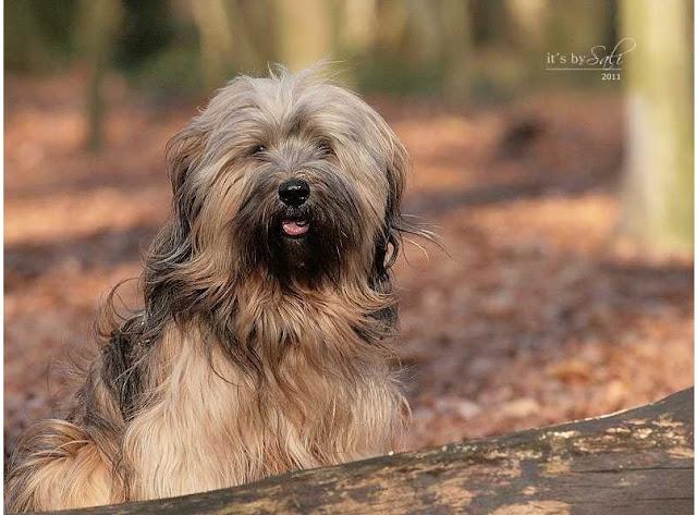 Tibet Terrier Chiru ist der Beweis, dass auch Hunde mit ihrer Gesichtsmimik lachen können.