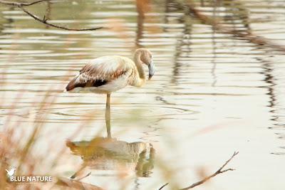 Flamenco común (Phoenicopterus roseus) descansando en la laguna, que tiene una profundidad media, pues las patas del flamenco quedan sumergidas solo hasta la mitad.