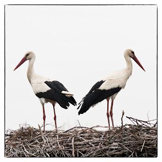 Két gólya lesi a fészekből az alföldi tájat