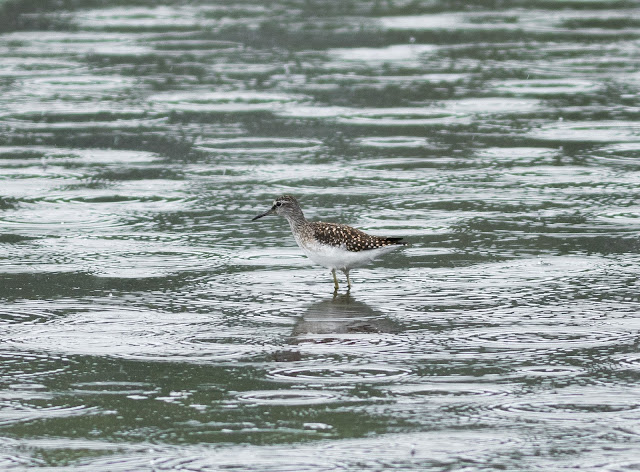 Wood Sandpiper - Higher Moors, Scilly