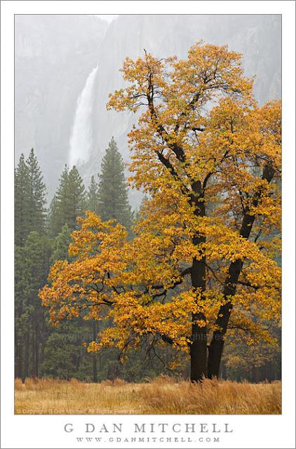 Autumn Oak Trees Autumn Posters Picture