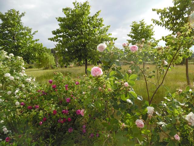 krzewy różane i lipy