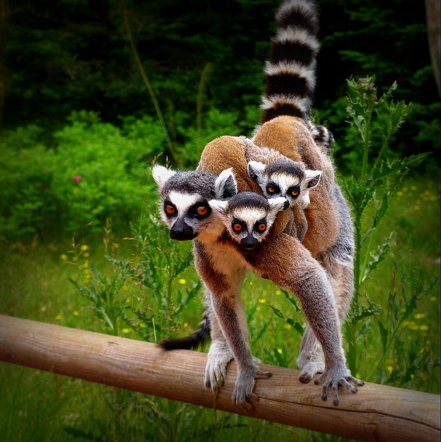 11. A lemur mom with her two cubs on the back by Sara Daniella