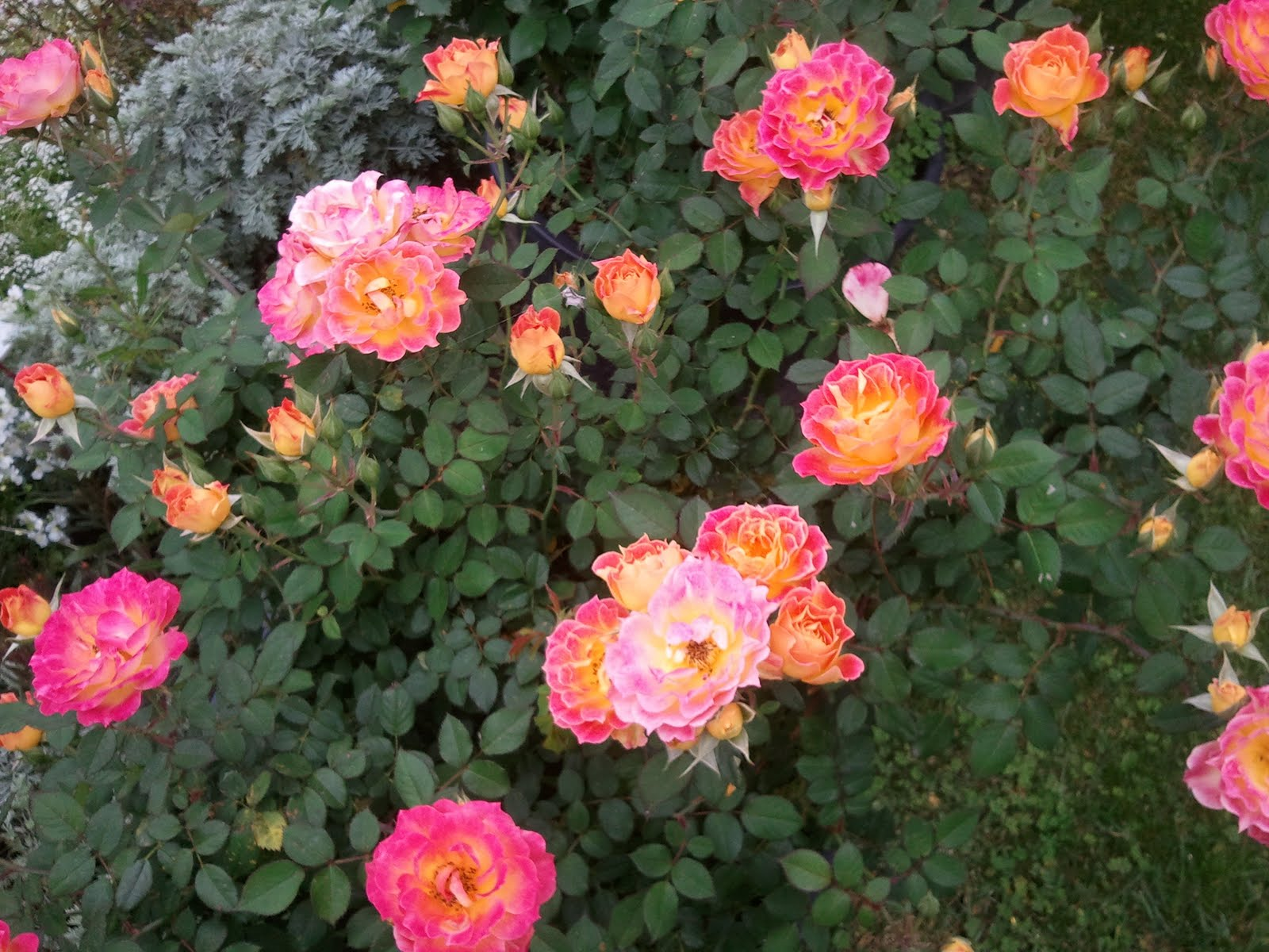 stephs world Tiddly winks miniature rose