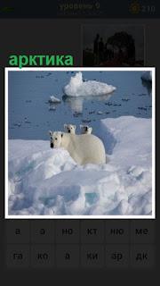 среди снега и льда в арктике бродят белые медведи