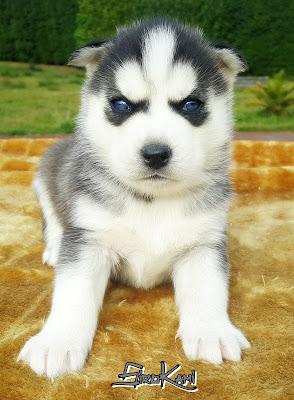husky blanco y negro