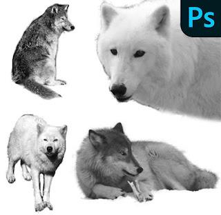 فرش الذئب فوتوشوب