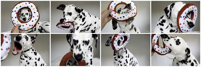 Dalmatian dog playing with a homemade donut shaped dog toy