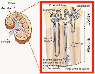 Struktur dari korteks dan bagian medula pada ginjal