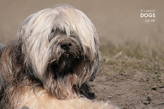 Der frischgebadete Tibet Terrier Chiru schon nicht mehr so sauber...