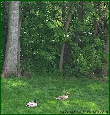 Ducks in the backyard | www.BakingInATornado.com | #wildlife