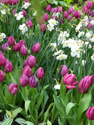 Purple tulips and white daffodils at the 2018 Allan Gardens Conservatory Spring Flower Show by garden muses-not another Toronto gardening blog