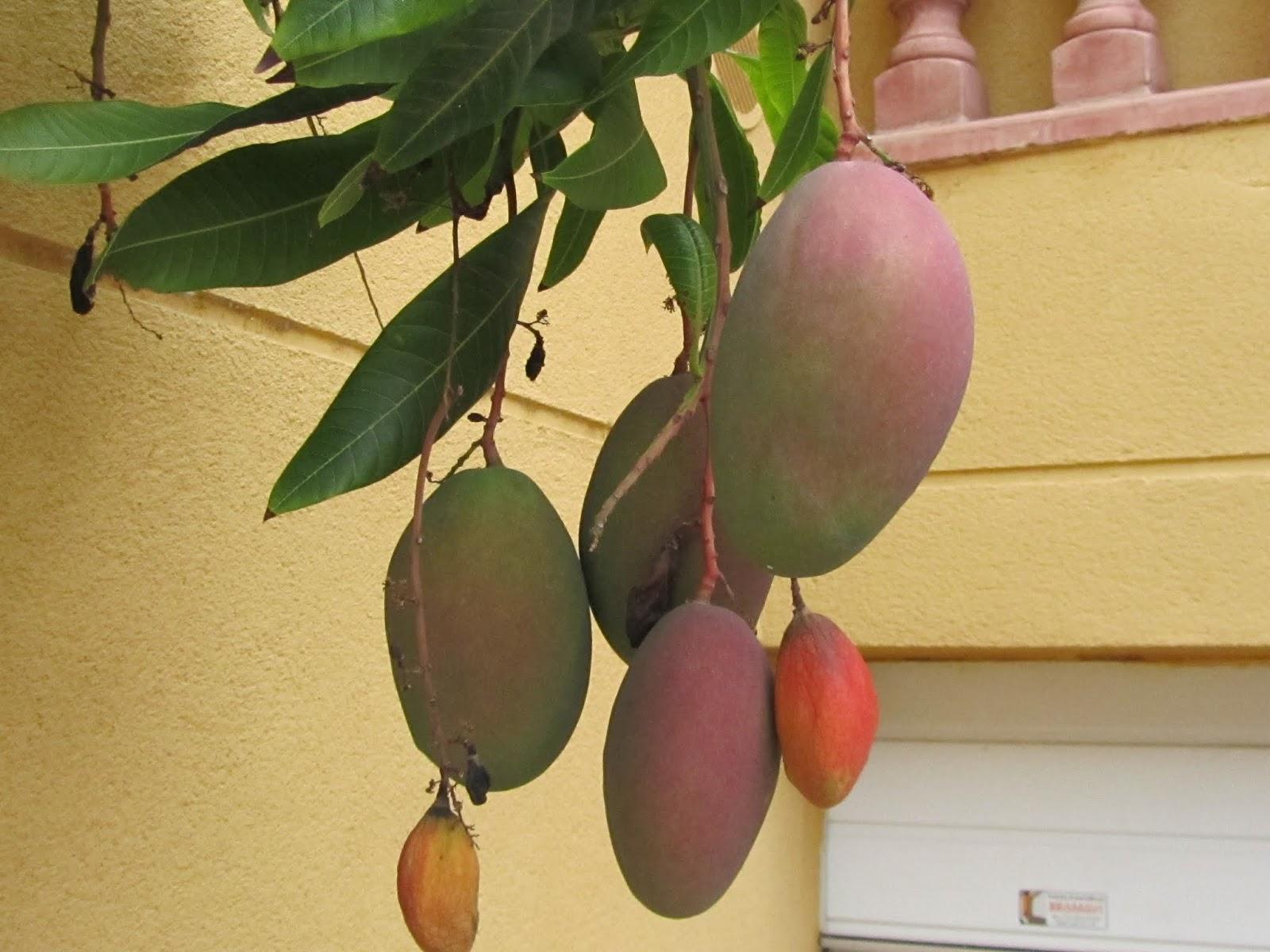 Come Piantare Il Mango il gusto della natura: come coltivare il mango (mangifera