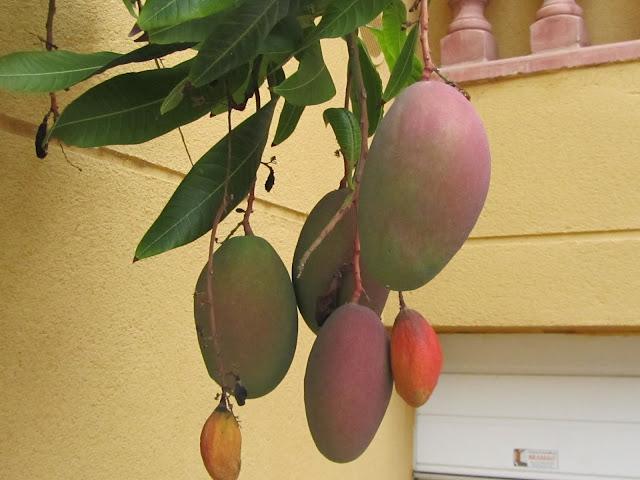 Frutti Mango