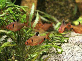 Tétra joyau - Hyphessobrycon eques - Tétra sang