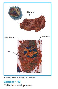 Retikulum Adalah : retikulum, adalah, Fungsi, Utama, Retikulum, Endoplasma, Makalah, Sakersomu, Kumpulan, Materi