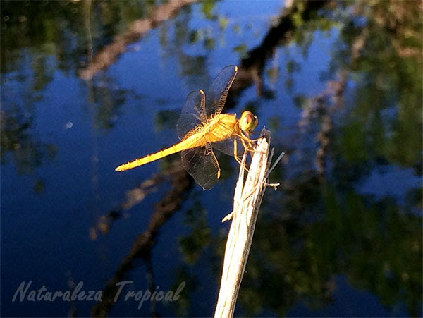 Libélula posada sobre una rama en un estanque, orden Odonata