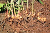 Hasil gambar untuk akar jahe
