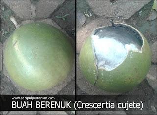 Pestisida nabati dari bahan buah berenuk atau buah maja