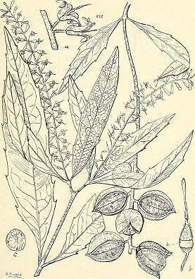 Nueces de Macadamia Macadamia ternifolia