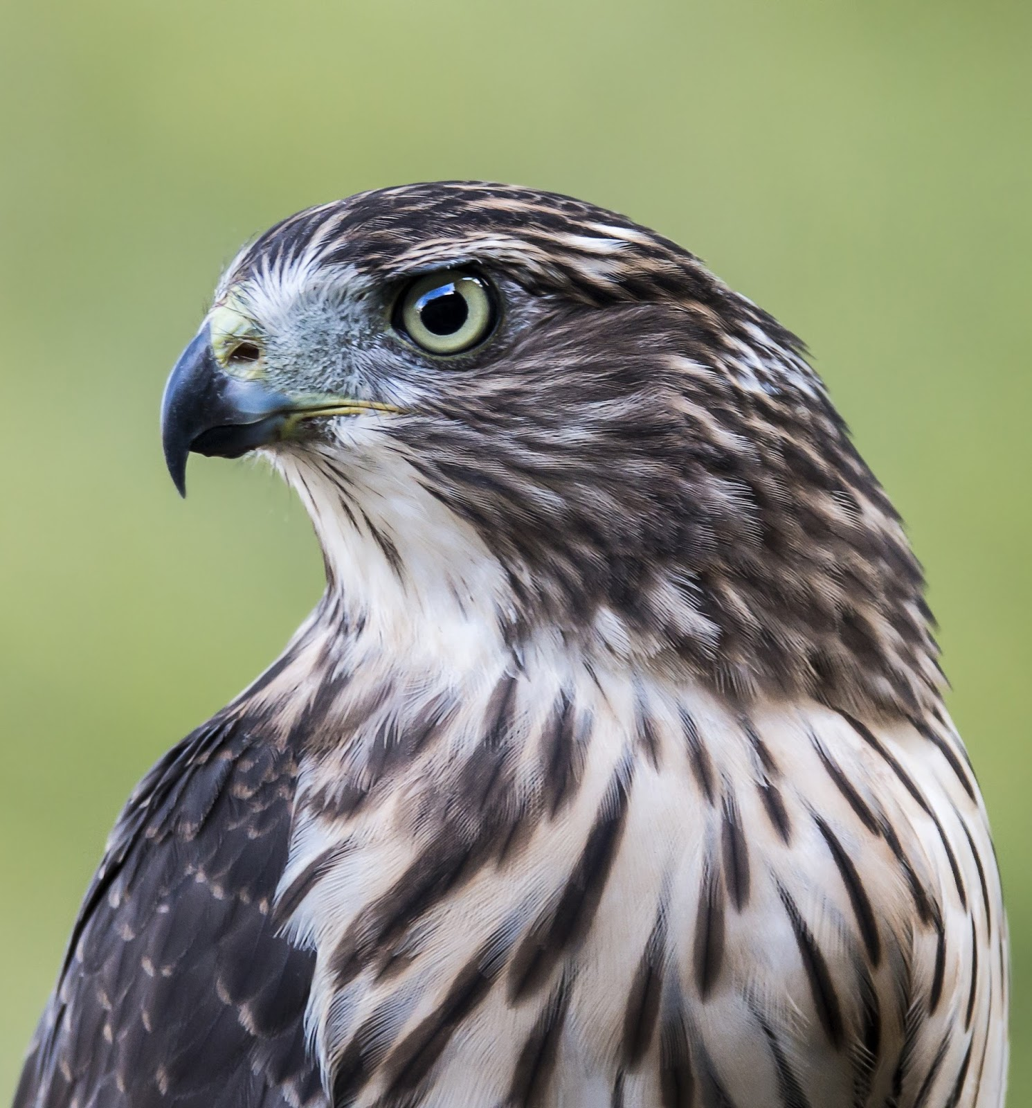 Picture of a bold hawk.