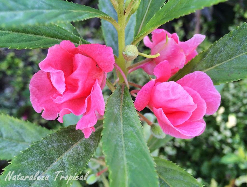 Variedad rosa de la flor Alegría, Impatiens balsamina